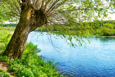 river bank: Big old tree on the river bank. Summer day with bright blue sky