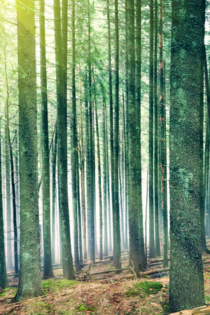 beauty in nature: Sun light in the green forest with mysterious fog through pine trees Stock Photo
