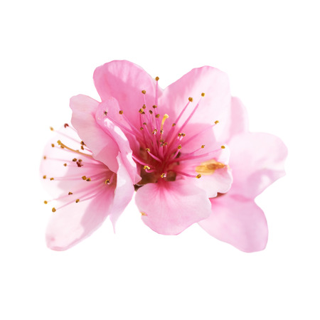 plum blossom: Almond pink flowers isolated on white background. Macro, closeup shot