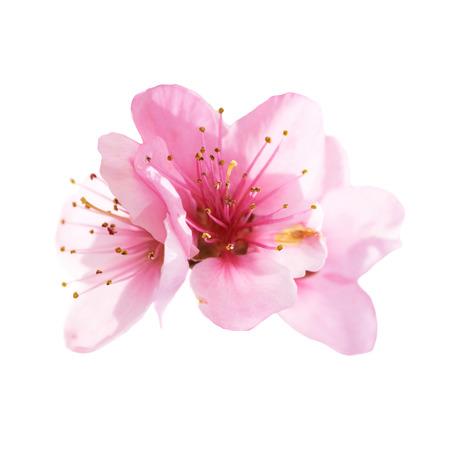 Almond rosa Blüten auf weißem Hintergrund. Makro, Großaufnahme Lizenzfreie Bilder