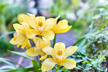 thai orchid: Yellow orchids in a wild tropical forest. Beautiful spring flowers with soft green background