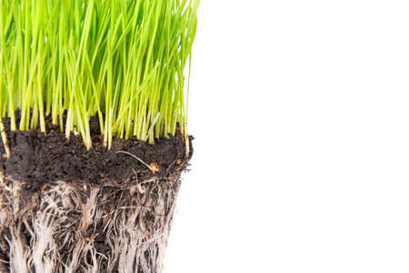 grassroots: Green grass and soil from a pot with plant roots isolated on white background. Macro shot with copyspace Stock Photo
