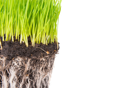 grass roots: Green grass and soil from a pot with plant roots isolated on white background. Macro shot with copyspace Stock Photo