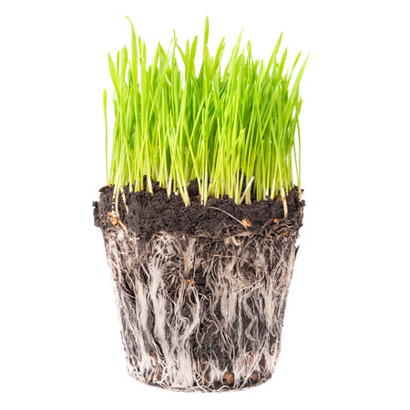 root: Green grass and soil from a pot with plant roots isolated on white background Stock Photo