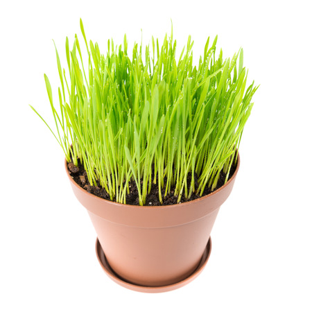 plant in pot: Green grass in the plant pot isolated on white background Stock Photo