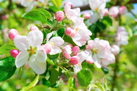 White apple flowers. Blossom tree at spring