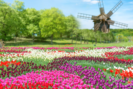 holland: Field of tulips with many colorful flowers and mill in the green park