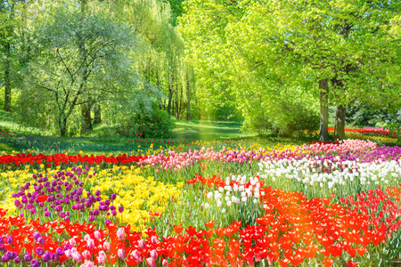 holland: Colorful tulips garden in the green park