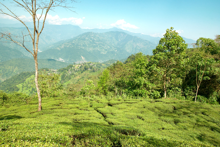 darjeeling: Green tea bushes on plantation in Darjeeling, India