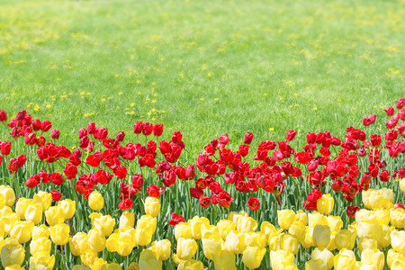 tulips in green grass: Red and yellow tulips in the garden with green grass on background