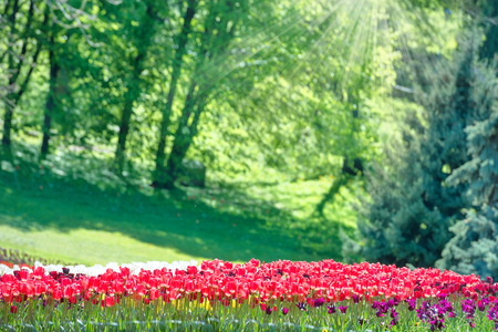 yellow flower tree: Colorful tulips garden in the green park with sun rays