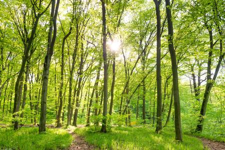 Morgen im sonnigen Wald mit grünen Bäumen Standard-Bild