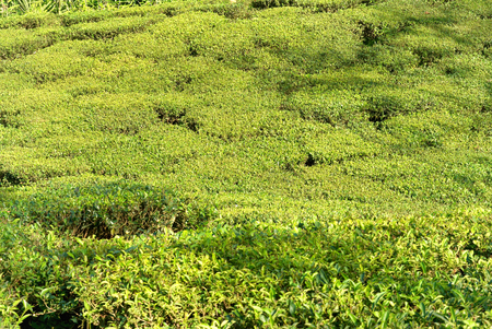darjeeling: Green tea bushes on plantation in Darjeeling, India
