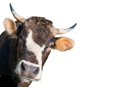 Crazy and funny looking cow from a farm isolated on white background
