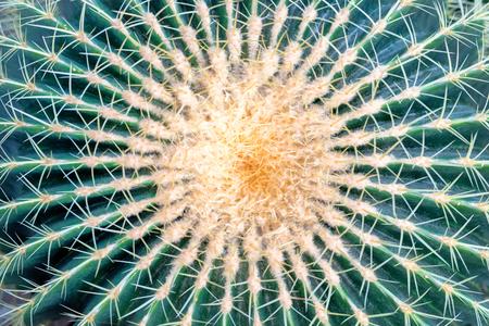 dry leaf: Big round golden barrel cactus Echinocactus grusonii