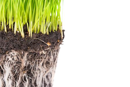 raices de plantas: la hierba verde y el suelo de una olla con raíces de las plantas aisladas sobre fondo blanco. Macro foto con copyspace