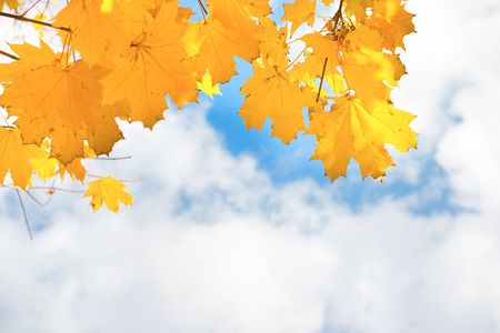 beauty in nature: Autumn yellow and orange maple leaves on the blue sky background