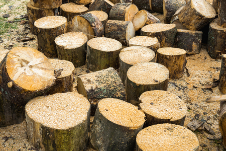 Wooden logs of oak tree and sawdust near sawmill Stock Photo
