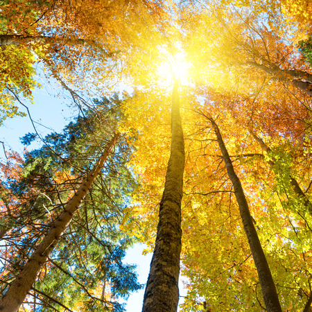 Fall in the forest. Orange trees with red leaves and rays of sun light Banco de Imagens