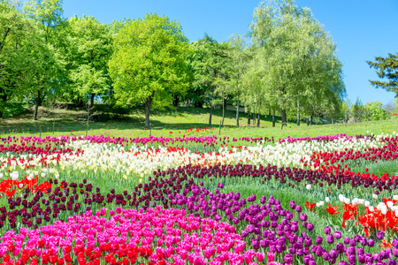 Field of tulips with many colorful flowers in the green park Stock Photo