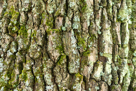 bark background: Macro shot of oak tree bark texture can be used for natural background Stock Photo