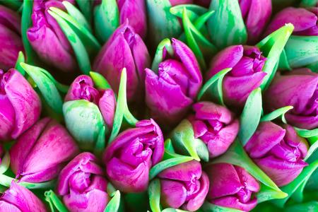 Świeże tulipany fioletowe z zielonym pozostawia-przyrodzie wiosna tle. Nieostrość i bokeh