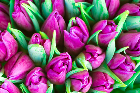 Fresh violet tulips with green leaves- nature spring background. Soft focus and bokeh