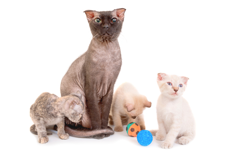 Black purebred sphinx cat with three kittens isolated on white background. Ukrainian levkoy breed