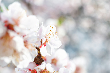 cherry blossoms: White flowers on spring plum tree with soft blue bokeh background Stock Photo