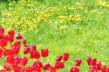 tulips in green grass: Red tulips on the field with green grass as background