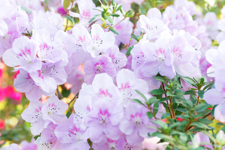 azaleas: Pink spring flowers azalea rhododendron in the garden Stock Photo