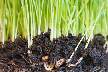 raices de plantas: Green grass in soil with water drops and roots, macro shot