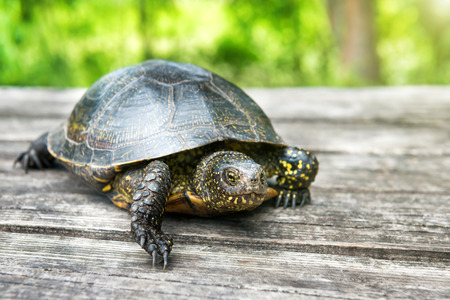 Big turtle on old wooden desk with sunny grass on background Stock Photo