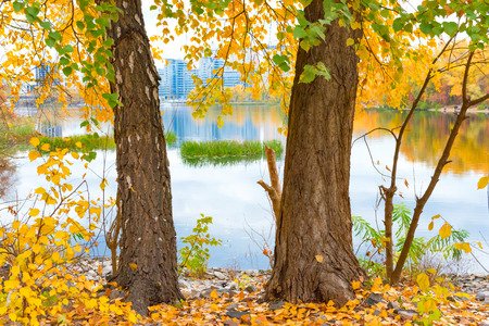 yellow trees: Two big trees with yellow autumn leaves near blue lake