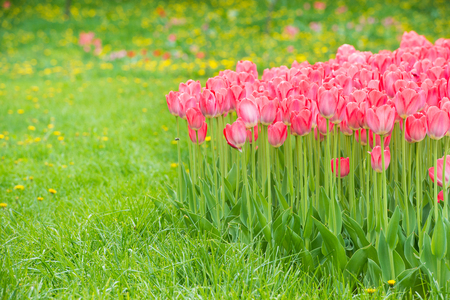 Pink flowers tulips in the green beautiful park Stock Photo