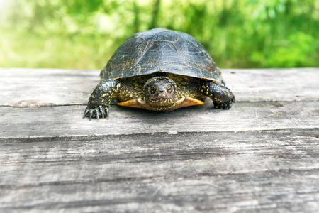 Turtle on wooden desk with sunny grass on background