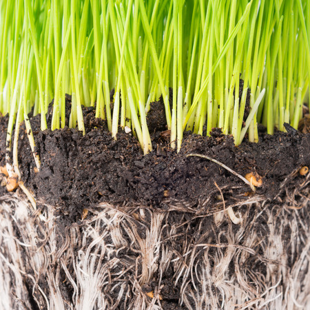 Green grass and soil from a pot with plant roots isolated on white background. Macro shot Stock Photo