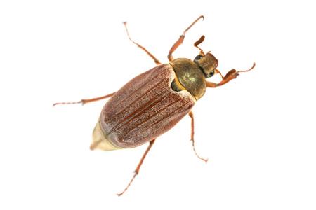 Puede bug o abejorro (Melolontha melolontha) aislado sobre fondo blanco - macro foto de escarabajo grande Foto de archivo