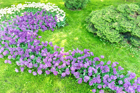 Flowerbed with purple and pink flowers tulips and green grass Archivio Fotografico