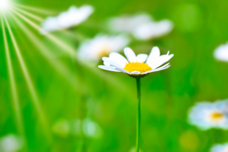 Summer landscape with daisy on field with green grass and sun light, macro flower