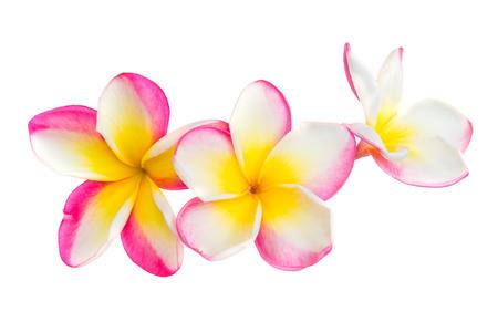 Tres flores de plumeria frangipani rosa y amarillo con pétalos aislados sobre fondo blanco. Foto de archivo