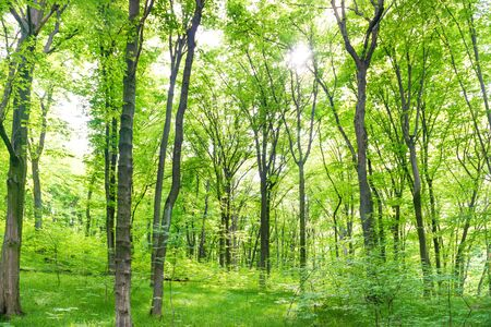 Paesaggio della foresta verde con alberi e luce del sole che passa attraverso le foglie