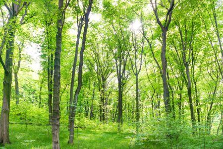Paisaje de bosque verde con árboles y la luz del sol atravesando las hojas