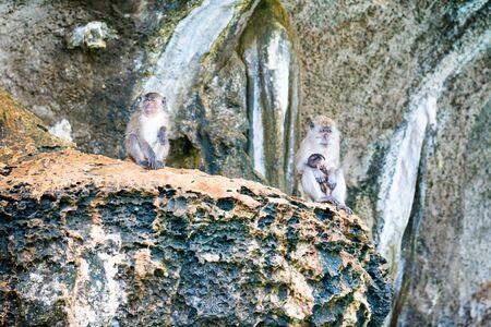 Group of wild monkeys sitting on rock. Primates animals in nature wildlife