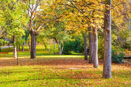 Landscaped autumn park with yellow trees and green lawn covered with fallen leaves Stockfoto
