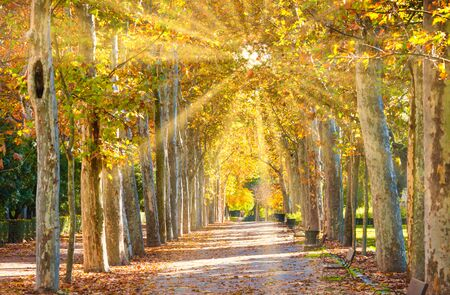 Sycamores alley in city park at beautyful sunny day Stockfoto