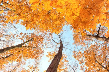 Maple trees with bright orange leaves in autumn park. Bottom view Stockfoto