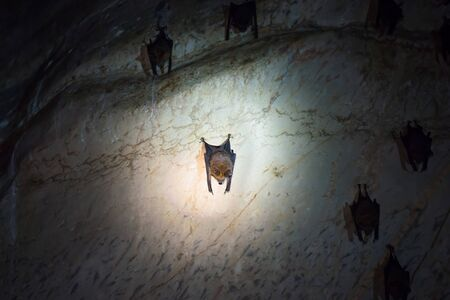 Closeup view of dark brown bats colony hanging on ceiling of natural cave Stockfoto