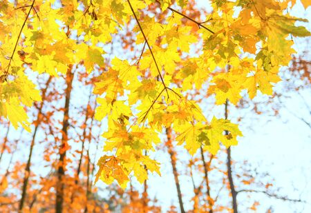 Branch with yellow maple leaves on orange autumn park background Stockfoto