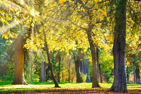 Autumn park with yellow chestnut trees and fall leaves at bright sunny day